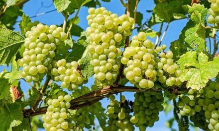 11 فائدة مذهلة للعنب